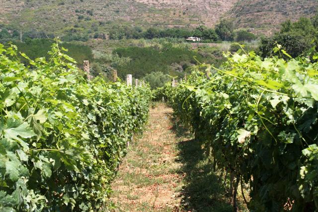 Camminando le vigne dei Costa