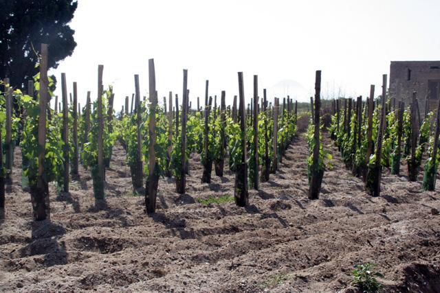 Esercito di viti con suolo pelato