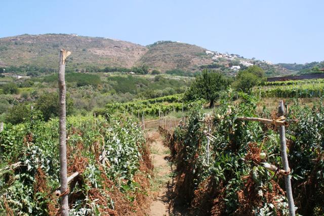 L'orto dei Costa. Pomodori arsi dal caldo e sullo sfondo le vigne